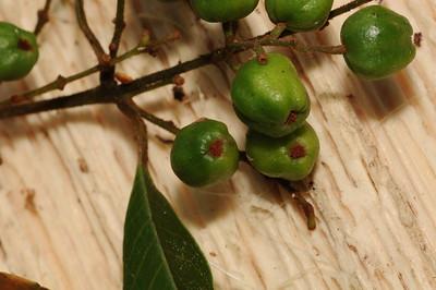Trimeniaceae