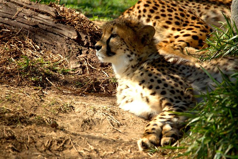 Cheetah 2 1.29.2017.jpg
