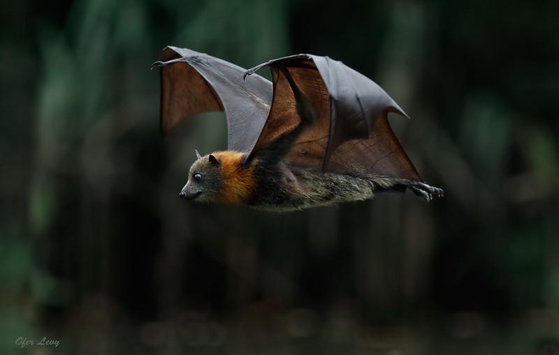 Grey-headed Flying Fox 1.jpg