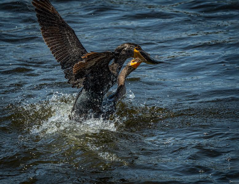_6003413-Edit Cormorant battle over fish.jpg