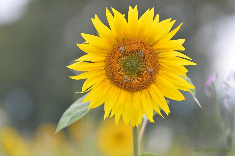 Sunflower Lonay_20092020 (63).JPG
