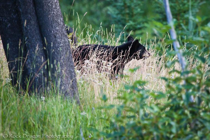 A Black Bear cub in Waterton National Park Canada