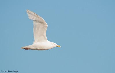 Glaucous Gull, Larus hyperboreus