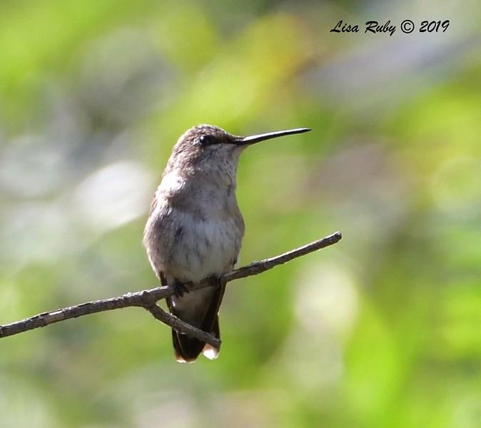 ? Hummingbird  - 7/19/2019 - Budwin Lane trail