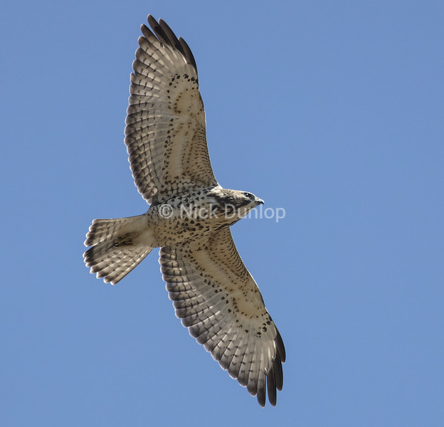 Broad Wing Hawks