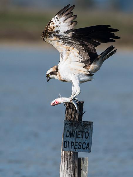 falco pescatore_MSN2923.jpg