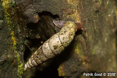 Gemeine Schliessmundschnecke (Familie Clausiliidae)