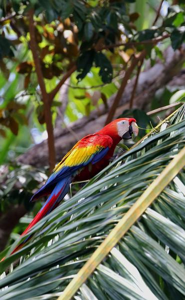 Scarlet Macaw on Palm Leaf.jpg