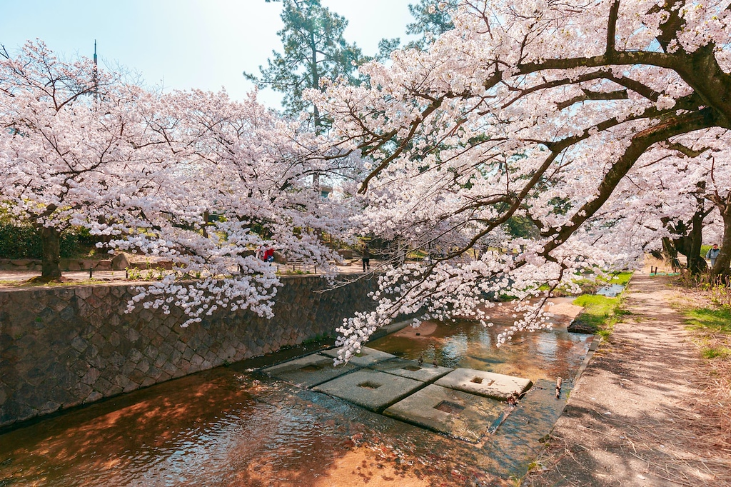 Cherry blossoms in Kobe. Editorial credit: QUANGHUNG PHOTOGRAPHY / Shutterstock.com