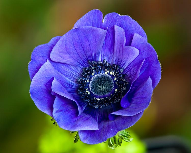 blue-anemone2.jpg