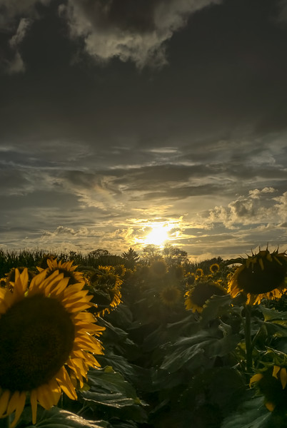 1506 - sunflowers 2018 - sun setting elverson (p).jpg