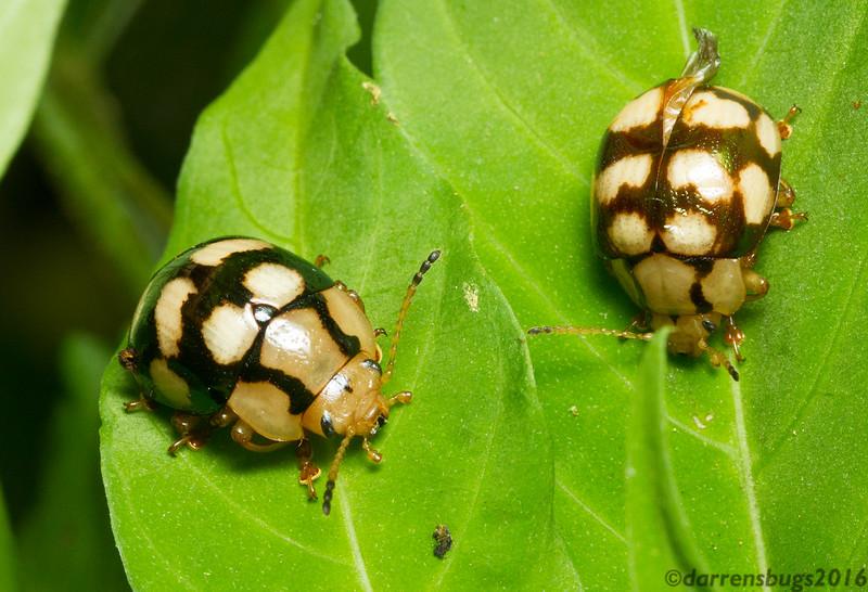 Leaf beetles, family Chrysomelidae. (Monteverde, Costa Rica)