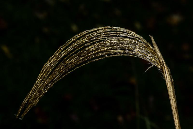 DSC_1622 Grass Tassle PS- NEF LL.jpg