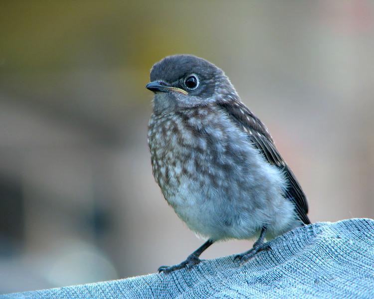bluebird_fledgling_4550.jpg