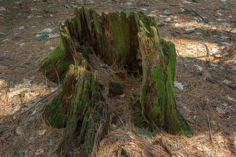 Tree stump. Black Rock State Park, Watertown, CT