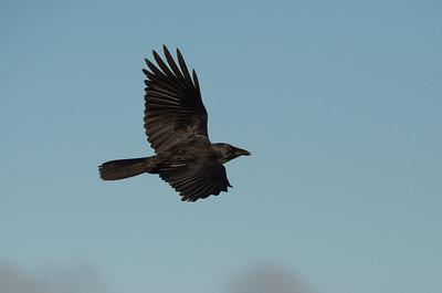 Crows- CORVIDAE