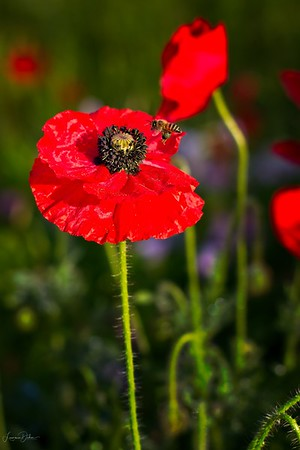 Poppies and Bees 2019