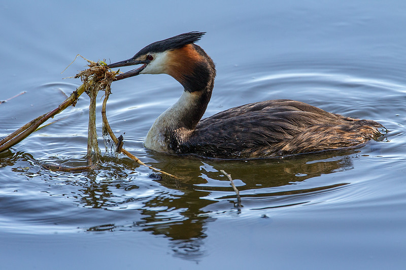 Great Crested Grebe Collecting Reeds