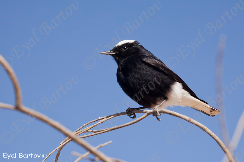 White-crowned Black Wheatear (Oenanthe leucopyga) - סלעית שחורת בטן