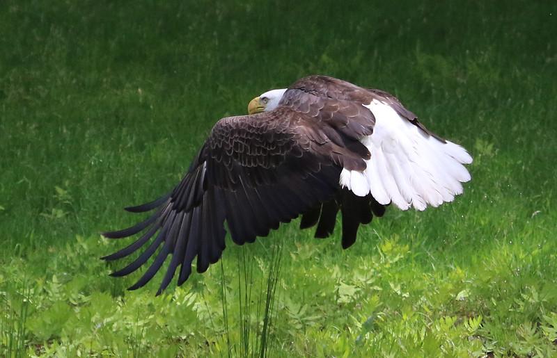 bald eagle flying 66.jpg