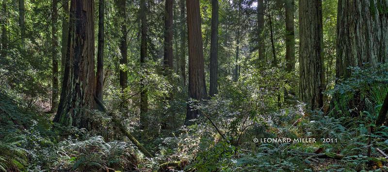 Redwood Grove - Marin County, California