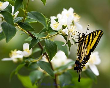 Swallowtail on Syringa
