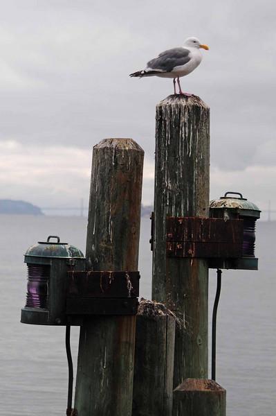 Sausalito Seagull 2 Lights.jpg