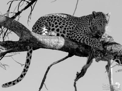 Leopard B&W