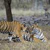 Tiger family - mother and one cub - in Ranthambhore national park