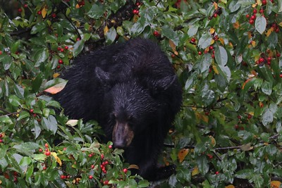 bear in CrabApple 10/1/18