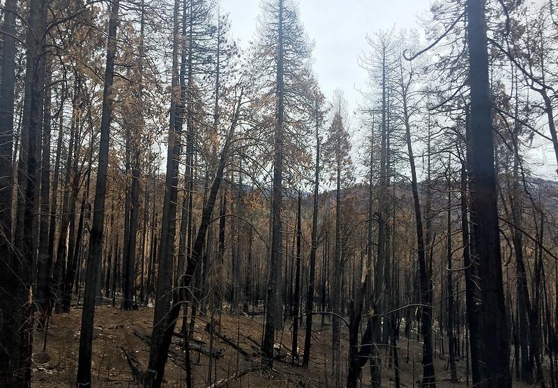 burned trees.jpg