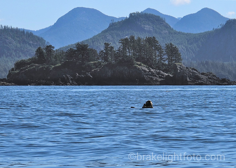 Sea Otter in Kyuquot Sound