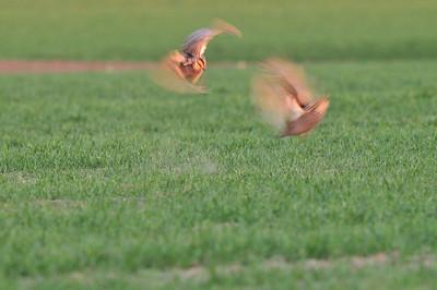 Prairie Chickens 2011
