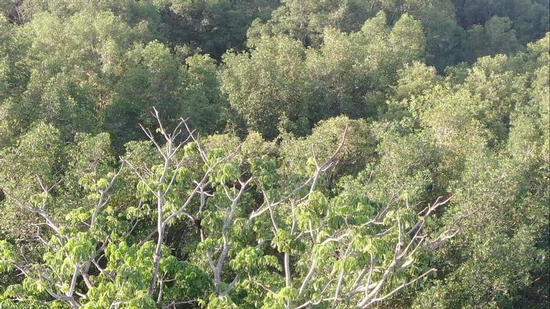 Scarlet Macaw (Lapas) Landing on a Tree