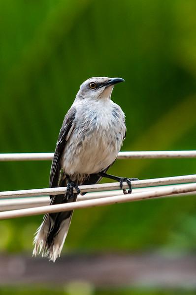 Mockingbirds, Grackles and Blackbirds