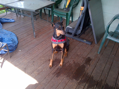 Gracie the new Doberman