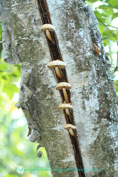Mushrooms on Tree- Brant Pines Ski Trail