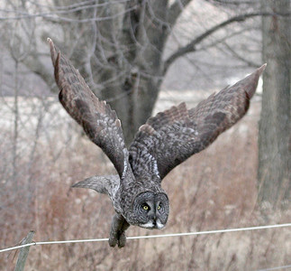 2012 Great Grey Owl - Kingsville, Ontario