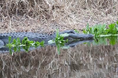 untitled20110203_Alligator MyakkaLakeFL_7I2B4507_11-02-03