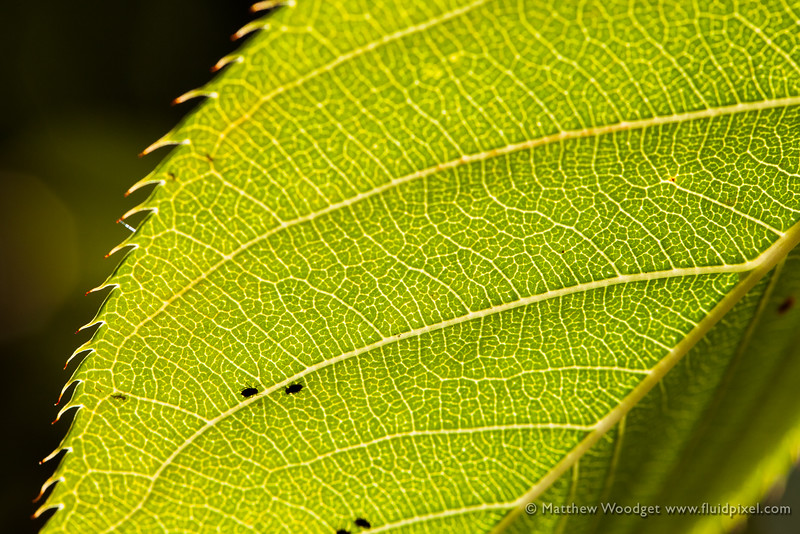 Woodget-140928-062--back lit, cellulose, green, leaf, macro, macro photography, nature, peaceful.jpg