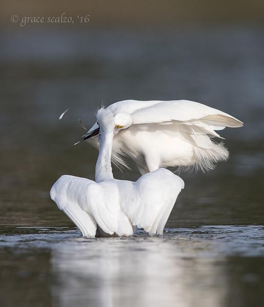 fb snowy egrets fish fight.jpg