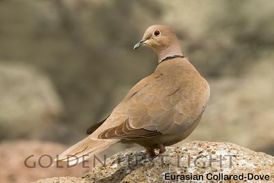 Eurasian Collared-Dove, Lower Klamath Lake OR, USA