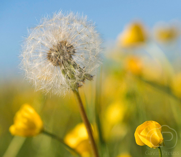 Dandelion_and_Buttercups.jpg
