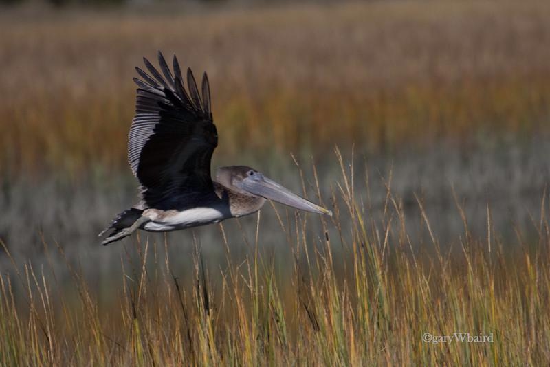 Marsh Pelican