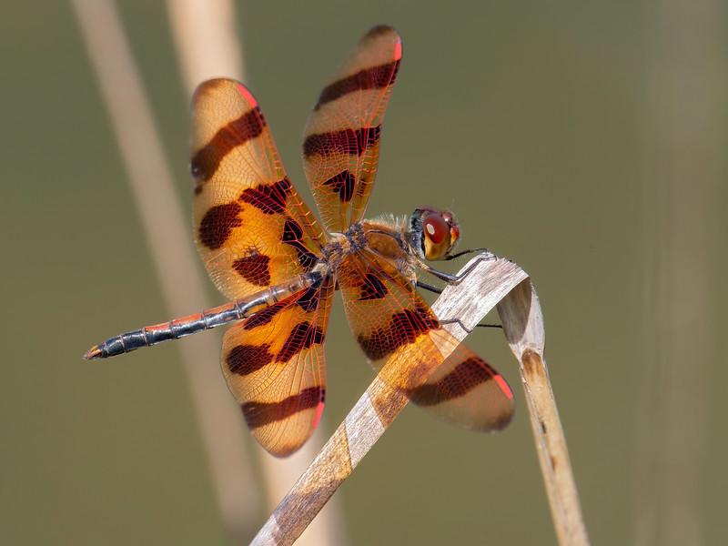 Halloween Pennant (Celithemis eponina), male