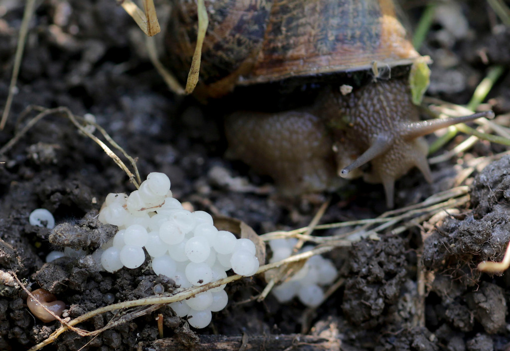 . A snail (Helix Aspersa) sits next to her eggs in a farm in Vienna July 10, 2013. Andreas Gugumuck owns Vienna\'s largest snail farm, exporting snails, snail-caviar and snail-liver all over the world. The gourmet snails are processed using old traditional cooking techniques and some are sold locally to Austrian gourmet restaurants. Picture taken July 10, 2013.   REUTERS/Leonhard Foeger