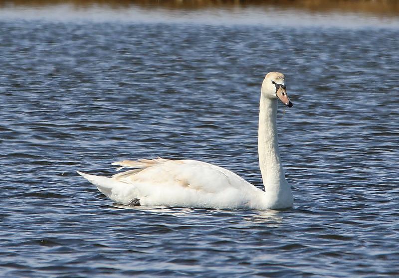 swan 2020 7.jpg