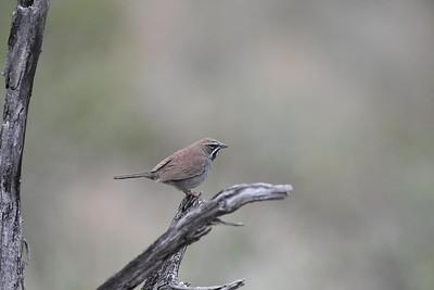 AZN Arizona-Nightbirds-More-Highlights=