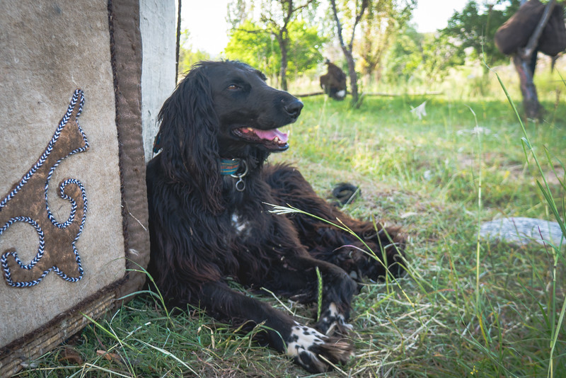 A beautiful taigan dog bred specifically for this type of hunting