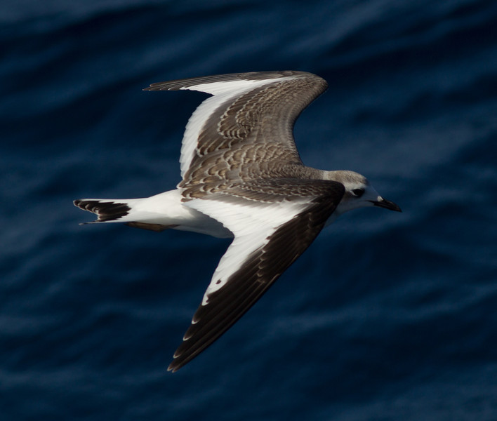 Sabine`s Gull San Diego Waters 2013 10 14-1.CR2